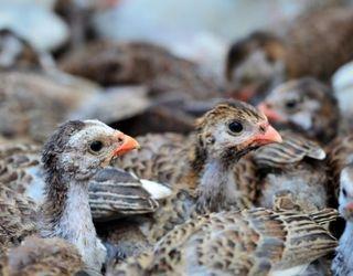 Як змінювати температуру й вологість у пташниках для вирощування цесарят