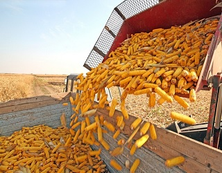 Зернові зібрано з 95% запланованих площ