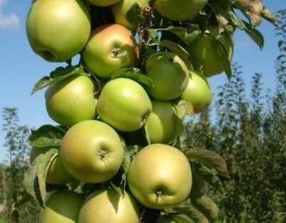 Колоноподібні яблуні рано вступають у плодоношення