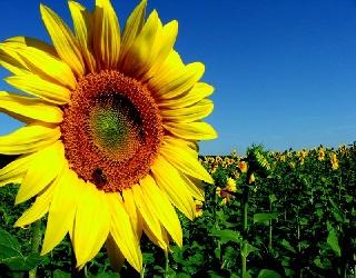 «Агроліга» збільшить площі під високоолеїновим соняшником