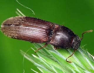 В Україні шкодять 16 видів жуків-коваликів