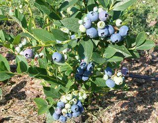 Ягоди лохини виростають великими, якщо містять багато кісточок