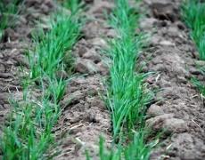 Посіви озимих знаходяться переважно у хорошому стані