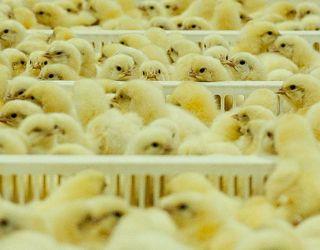 «Агідель» планує вакцинувати яйця бройлерів під час інкубації