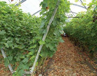 Каліфорнійська шпалера полегшує догляд за виноградом у теплиці