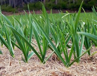 Для вирощування часнику важливо правильно вибрати ґрунт