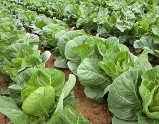 Дефіцит азоту гальмує ріст і розвиток капусти