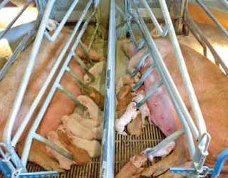 Данські свинарі інформують потенційних покупців про стан здоров'я тварин