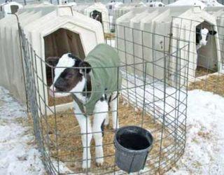 Як пережити зиму новонародженим телятам