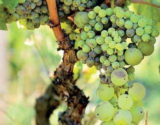 Дефіцит бору на винограднику коригують борвмісними добривами