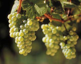 Традиційне виноградарство забезпечує більшу врожайність проти органічного й біодинамічного способів