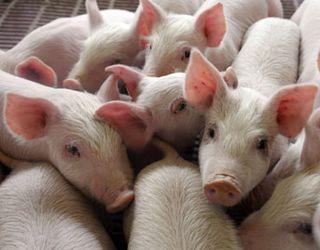 Вирощування свиней за одинадцять місяців скоротилось на 1,8%