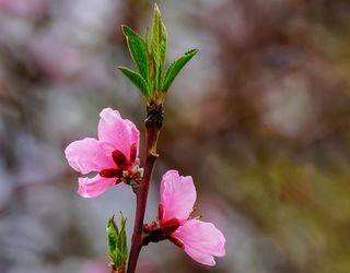 Моніліоз уражує різні частини персика