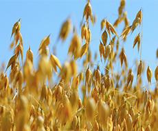 Урожай зерна на Запоріжжі зменшився на 24%