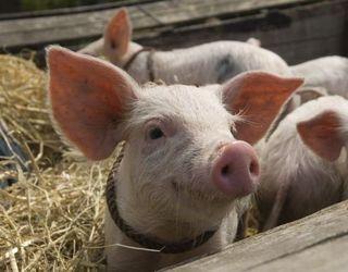 Раціони з сорго скорочують витрати на харчування свиней
