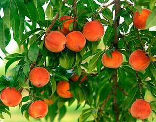 Найкращі підщепи для персика на півдні України