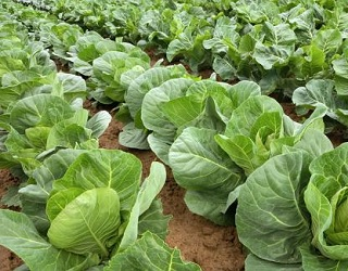 Капусту на торфових ґрунтах не удобрюють органічними та азотними добривами