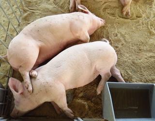 На відгодівлі свиней перевагу віддають вологим кормам