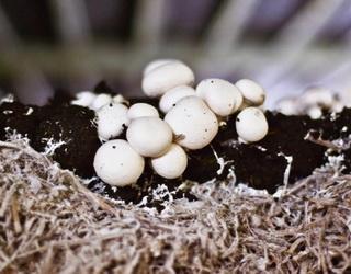 Експерт назвав умову, за якої маленька грибна ферма може бути прибутковою