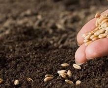 Норма сівби твердої озимої пшениці становить 5 млн насінин на 1 га