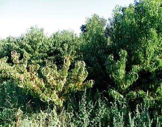 Персик, щеплений на мигдалі, не дає бажаних урожаїв на Одещині