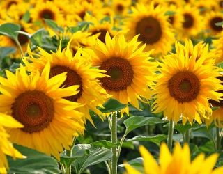 Для проростання насіння соняшнику оптимальною є температура 8-14 °С