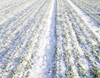 На Рівненщині 93% озимих зернових – у доброму і задовільному стані