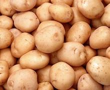 Підготовку до зберігання картоплі починають ще до початку її збирання