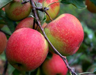 Ціни на товарні органічні яблука зазвичай на 50-100% вищі, ніж на звичайні