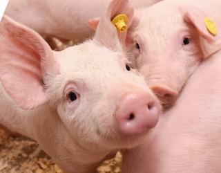 За хронічної інтоксикації селеном у свиней випадає щетина