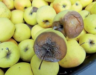 Сиза пліснява уражує яблука у сховищі через пошкоджену шкірочку