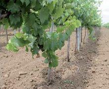 Як визначити обсяги втрат від бур'янів на винограднику