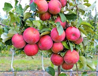 Які сорти яблунь краще підходять для півдня України