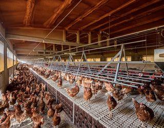 Бактеріологічне дослідження дозволяє оцінити ефективність вакцинації птиці проти сальмонельозу