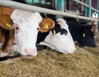 Cygnet у 2018 році виробив 5,5 млн л молока