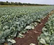 Вапнувати кислі ґрунти слід за два-три роки до вирощування капусти
