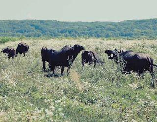 «Карпатський буйвіл» планує купувати чистокровних буйволенят
