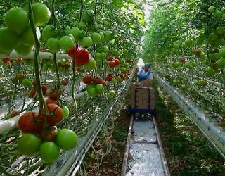 Впровадження новітніх технологій у тепличних господарствах потребує від 1,5 млн євро/га