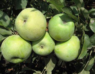Китайці оцінили яблуко Ренет Симиренка