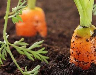 За вирощування моркви з розсади частка некондиційної продукції може скласти 80-90%