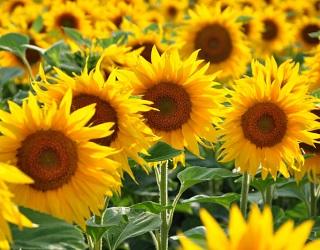 Високоолеїновий соняшник слід сіяти перед звичайним соняшником