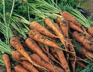 Ризоктоніоз зазвичай помічають після завершення вегетації моркви