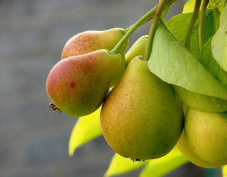 Сад яблуні доцільно збагатити насадженнями інших фруктових дерев