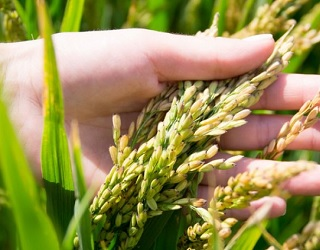 Біостимулятори слід вносити після змикання стеблостою рису