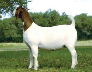 Які породи кіз підходять для вирощування на м'ясо