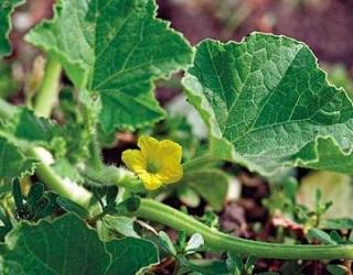 Зараження дині пітіумом запобігає висаджування розсади на попередньо зрошені ґрунти