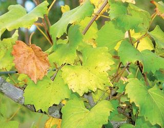 Виноград особливо потребує азоту під час росту пагонів