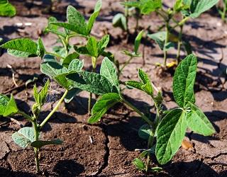 За вегетаційний період сої може розвинутися шість поколінь соєвої нематоди
