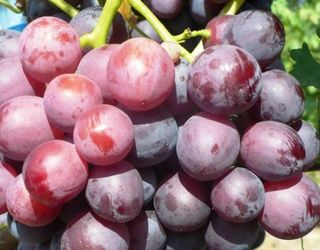 Яким сортам столового винограду віддають перевагу українці