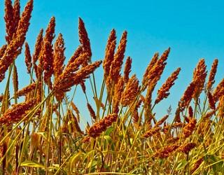 KSG Argo збільшив посіви сорго майже в 1,5 раза